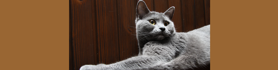 image chat chartreux